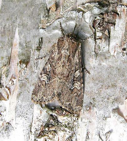 73.159 Small Clouded Brindle, Apamea unanimis, Co Wicklow