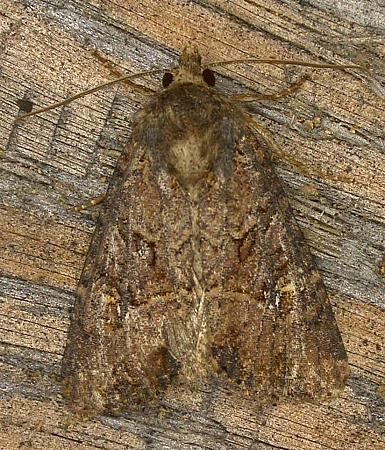 73.159 Small Clouded Brindle, Apamea unanimis, Co. Wicklow
