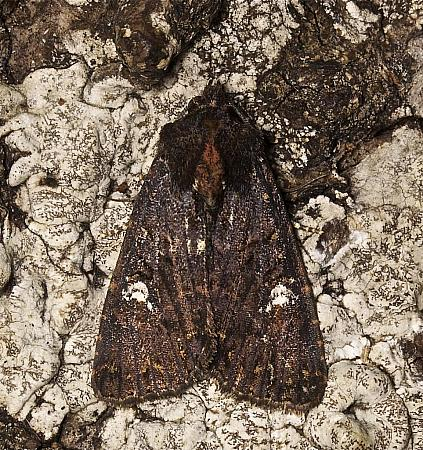 73.170 Lesser Common Rustic, Mesapamea didyma, Co Louth