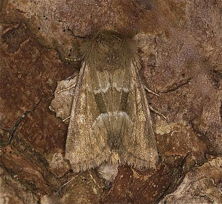 73.176 Middle-barred Minor, Oligia fasciuncula, Co Louth