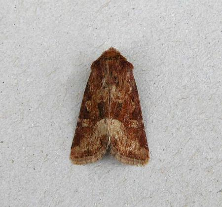 73.176 Middle-barred Minor, Oligia fasciuncula, Co Wexford