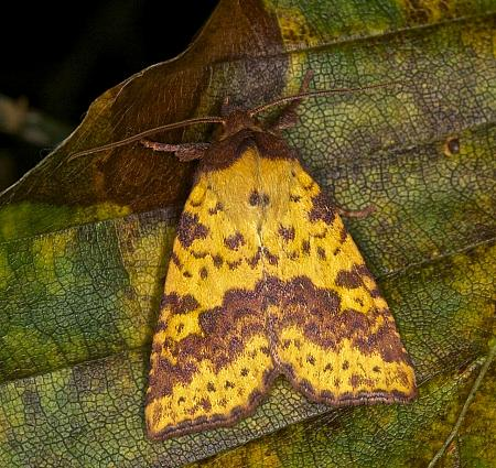 Pink-barred Sallow, Xanthia togata, Co Louth