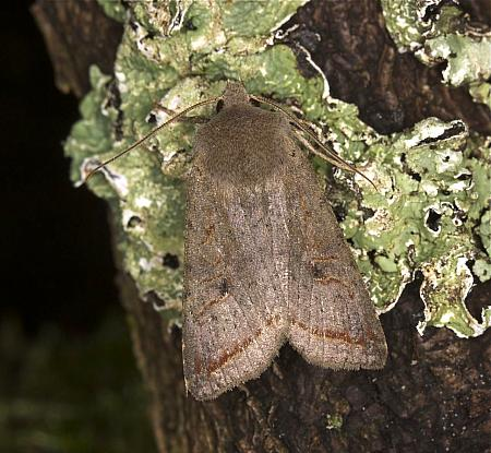 73.189 Red-line Quaker, Agrochola lota, Co Louth