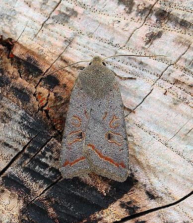 Red-line Quaker, Agrochola lota, Co Leitrim