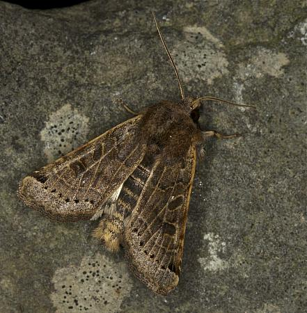 Lunar Underwing, Omphaloscelis lunosa, Co Louth