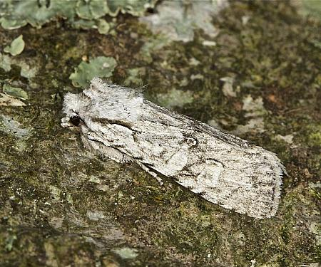 73.202 Grey Shoulder-knot, Lithophane ornitopus, Co Louth