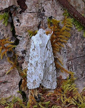 Grey Shoulder-knot, Lithophane ornitopus, Co Leitrim