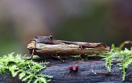 Red Sword-grass, Xylena vetusta, Co Donegal