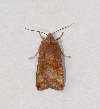 73.21 Satellite, Eupsilia transversa, Co Wexford