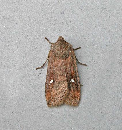 73.21 Satellite, Eupsilia transversa, Co Wicklow