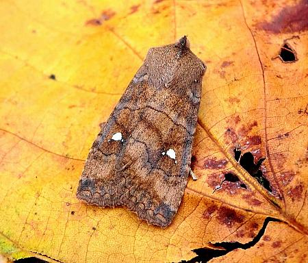 Satellite, Eupsilia transversa, Co Antrim