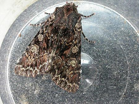 73.238 Dark Brocade, Mniotype adusta, Co. Meath