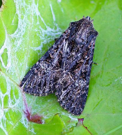Dark Brocade, Mniotype adusta, Co Donegal