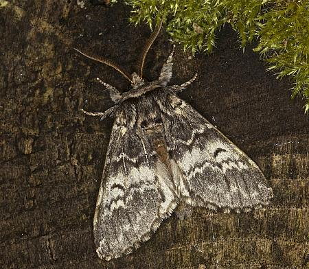 71.011 Lunar Marbled Brown, Drymonia ruficornis, Co Louth