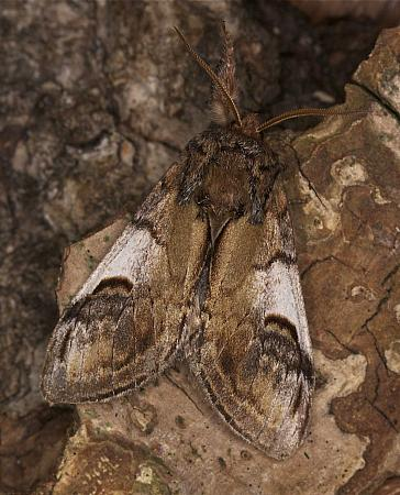Pebble Prominent, Notodonta ziczac, Co Derry