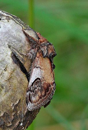 Pebble Prominent, Notodonta ziczac, Co Leitrim