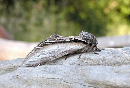 71.017 Swallow Prominent, Pheosia tremula, Co Wexford