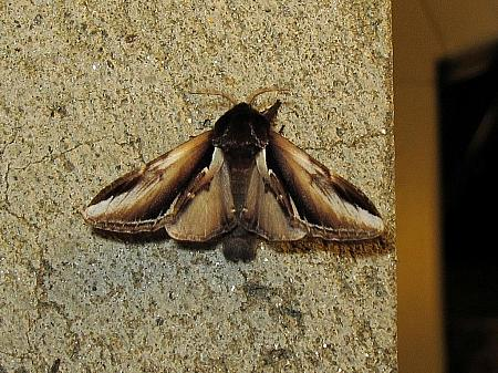 Lesser Swallow Prominent, Pheosia gnoma, Co Leitrim