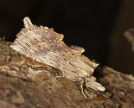 71.02 Pale Prominent, Pterostoma palpina, Co Louth