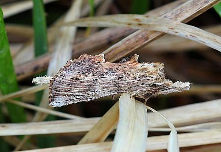 Pale Prominent, Pterostoma palpina, Co Leitrim