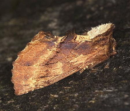 Coxcomb Prominent, Ptilodon capucina, Co Louth