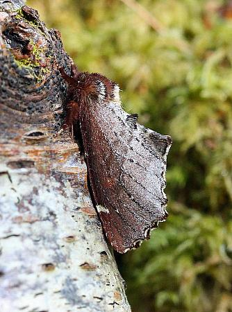 Scarce Prominent, Odontosia carmelita, Co Donegal
