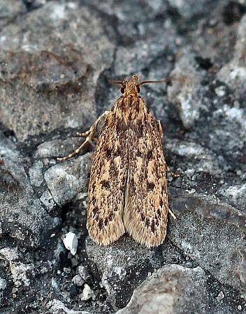 28.010 Hofmannophila pseudospretella, Brown House Moth, Co.Donegal