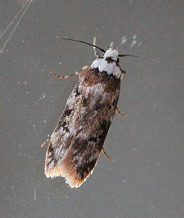 White-shouldered House Moth, Endrosis sarcitrella, Co Leitrim