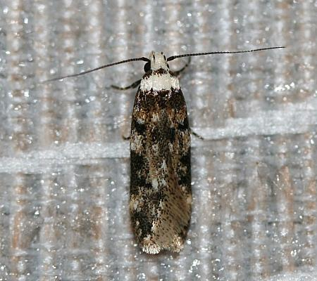 White-shouldered House Moth, Endrosis sarcitrella, Co Louth