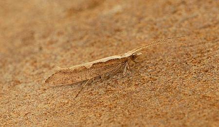 18.001 Plutella xylostella, Diamond-back Moth, Co Wexford