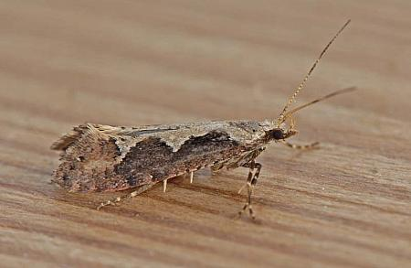 18.006 Rhigognostis incarnatella, Co Wexford
