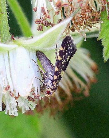 Raspberry Moth, Lampronia corticella, Co.Leitrim