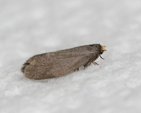 9.007 Lampronia pubicornis, Co Londonderry