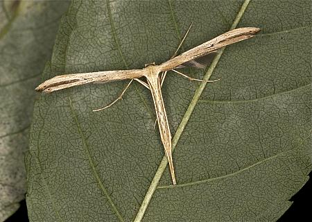 45.044 Common Plume Moth, Emmelina monodactyla, Co Louth