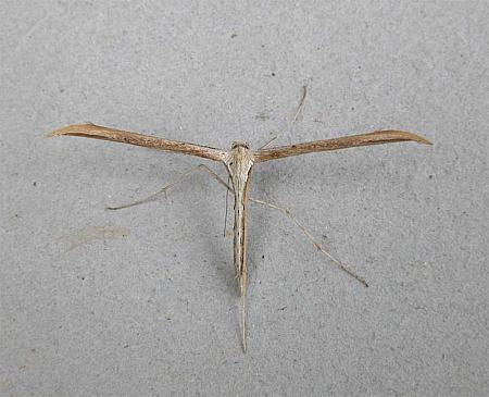 45.044 Common Plume Moth, Emmelina monodactyla, Co Wexford