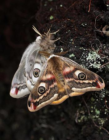 68.001 Emperor Moth, Saturnia pavonia, Co Sligo