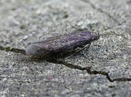 43.004 Scythris picaepennis, Co. Monaghan