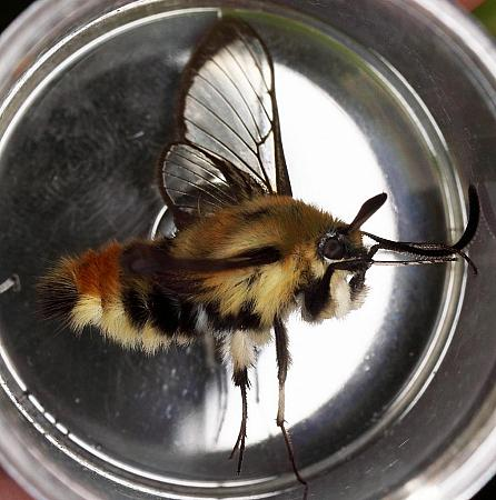 69.008 Narrow-bordered Bee-hawk Moth, Hemaris tityus, County Fermanagh