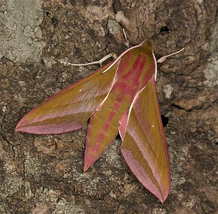 69.016 Elephant Hawkmoth, Deilephila elpenor, Co Louth