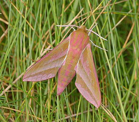 69.016 Elephant Hawk-moth, Deilephila elpenor, Co Wexford