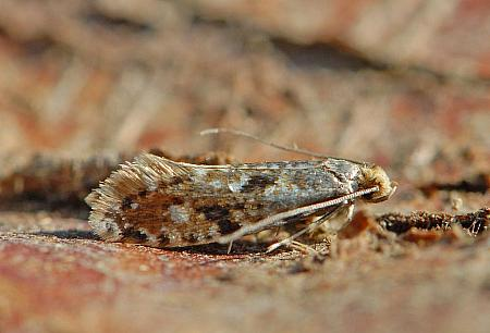 12.016 Nemapogon cloacella, Cork Moth, Co Wexford