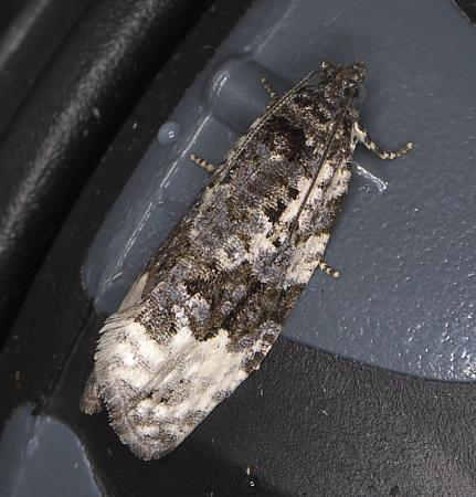 49.149 Apotomis turbidana, Co Louth
