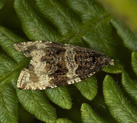 49.154 Orthotaenia undulana, Co Louth