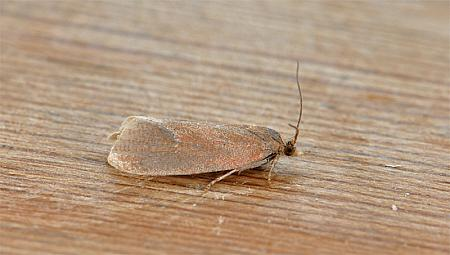 49.162 Celypha rosaceana, Co Wexford