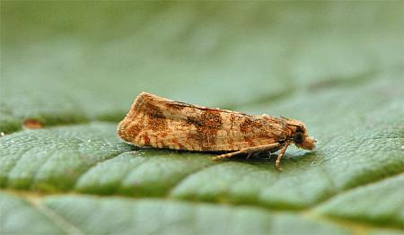 49.164 Celypha cespitana, Co Wexford