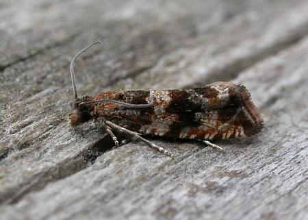 49 164 Celypha cespitana, Co Cork