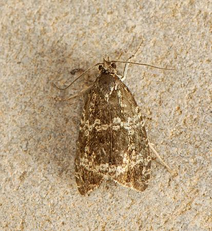 49.166 Celypha lacunana, Co. Wexford