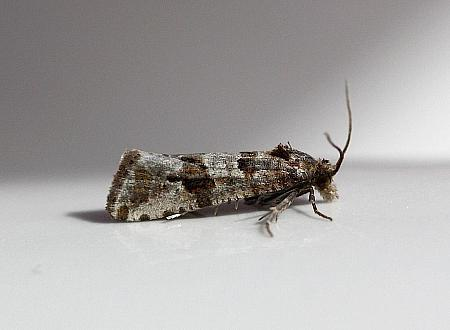 49.185 Lobesia littoralis, Co Down