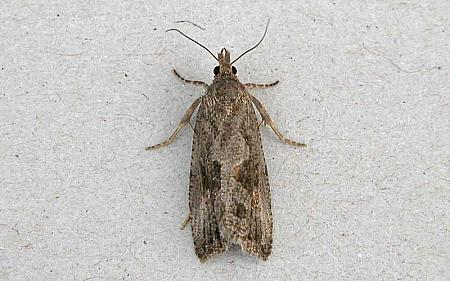 49.193 Endothenia quadrimaculana, Co Wexford