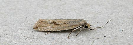 49.194 Bactra lancealana, Co Wicklow